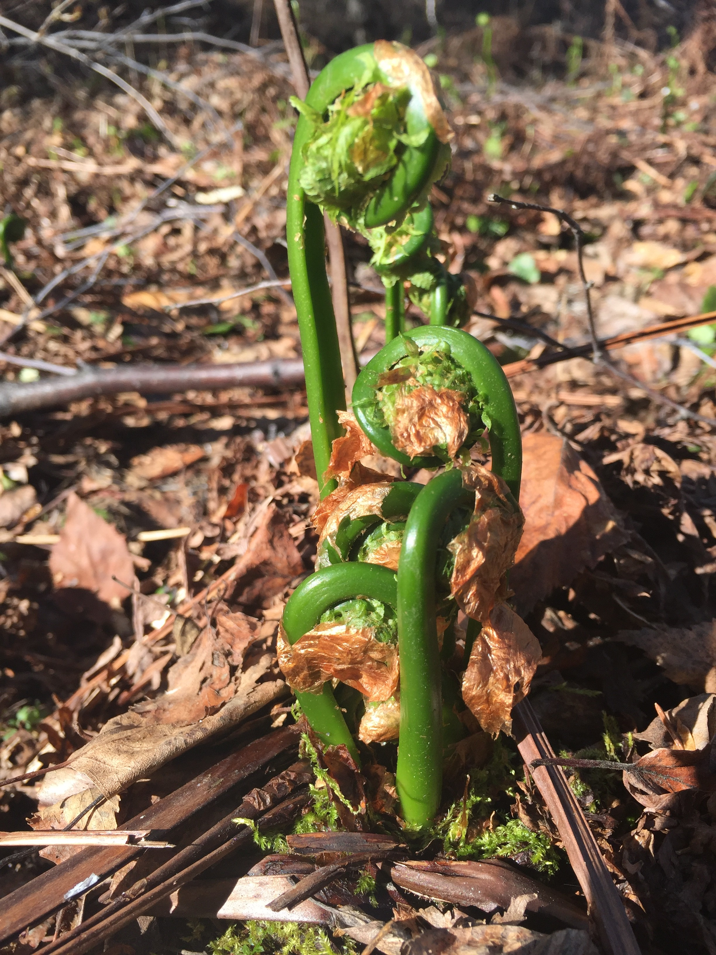 Spring Fiddleheads, Northwest Territories