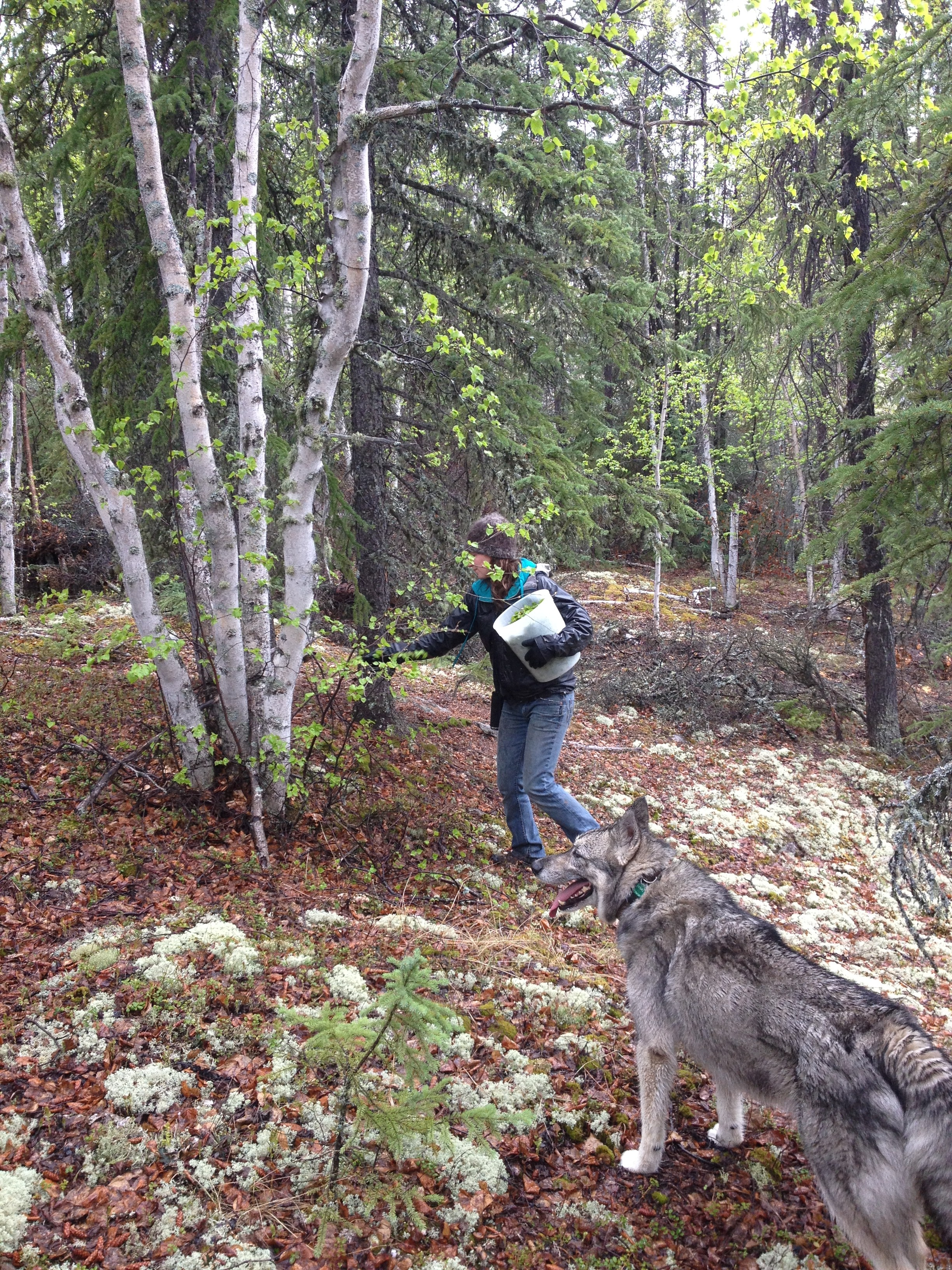 Collecting Spring Birch Leaves For Tea, Northwest Territories