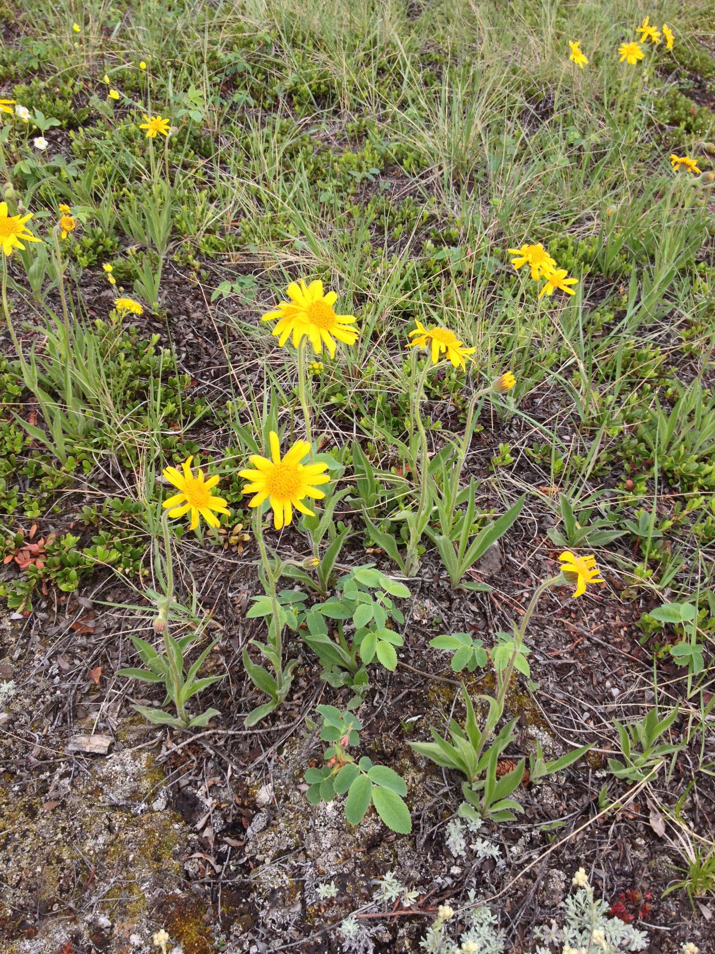 Is Arnica A Natural Herbal Product