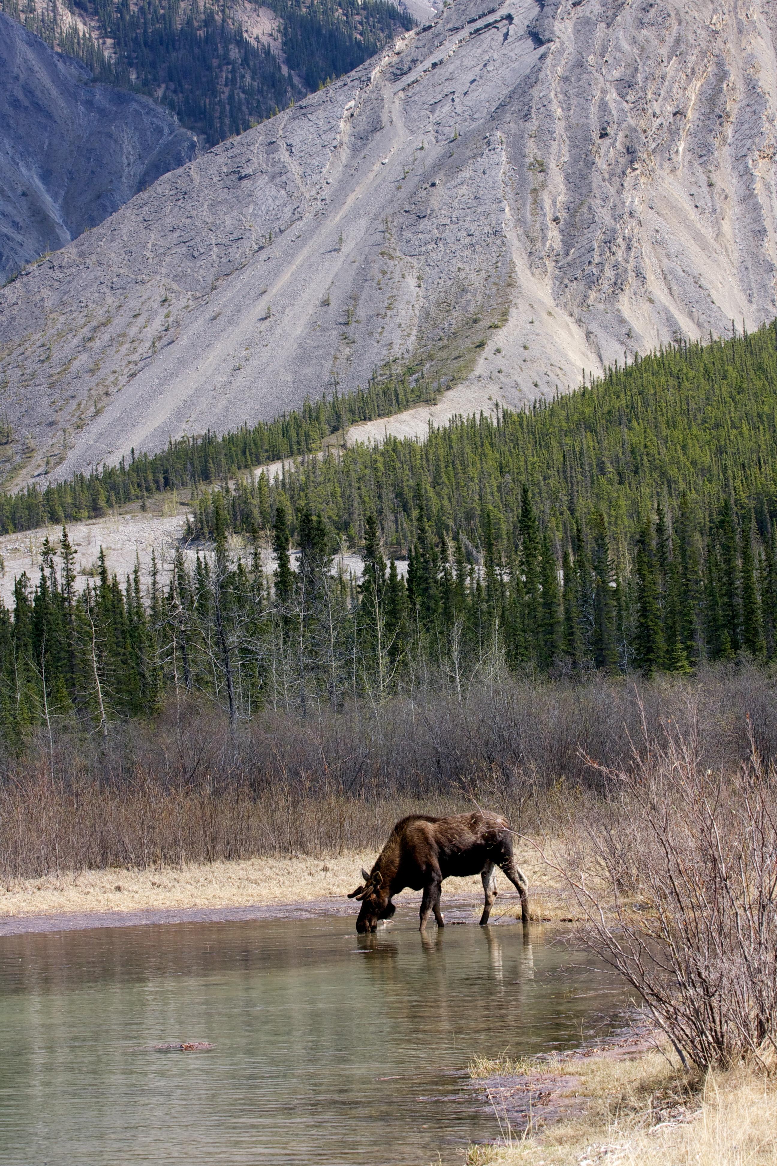 A Moose Grabbing A Drink Near Muncho Lake, Northern British Columbia