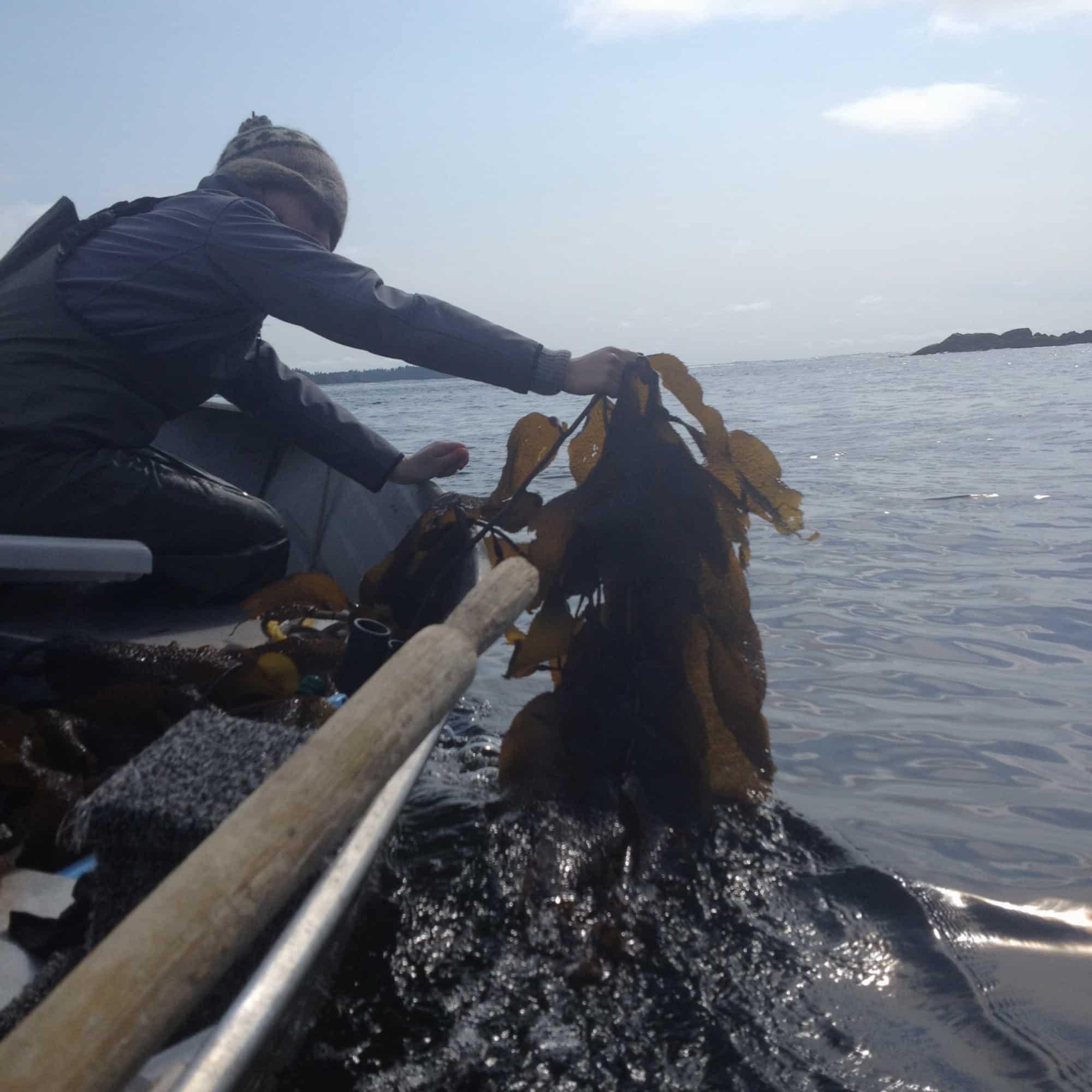 Wild  Kelp, Northwestern BC