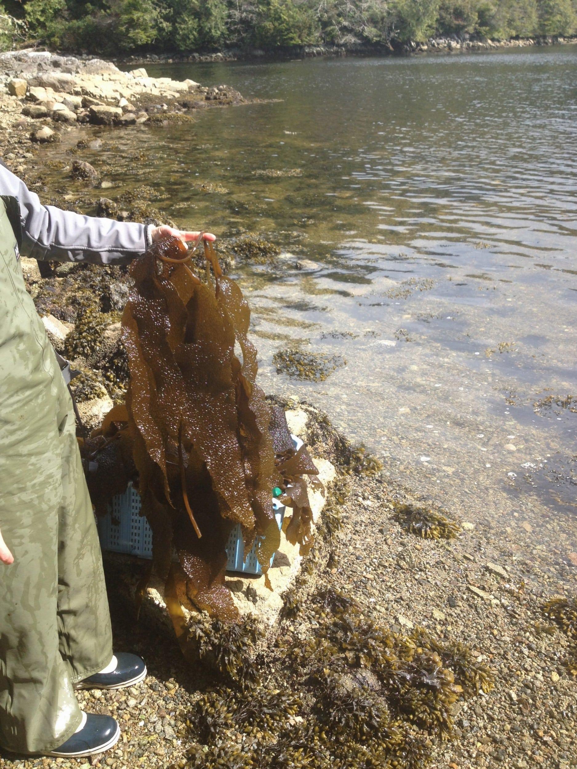 Wild Kelp, Northwestern, BC
