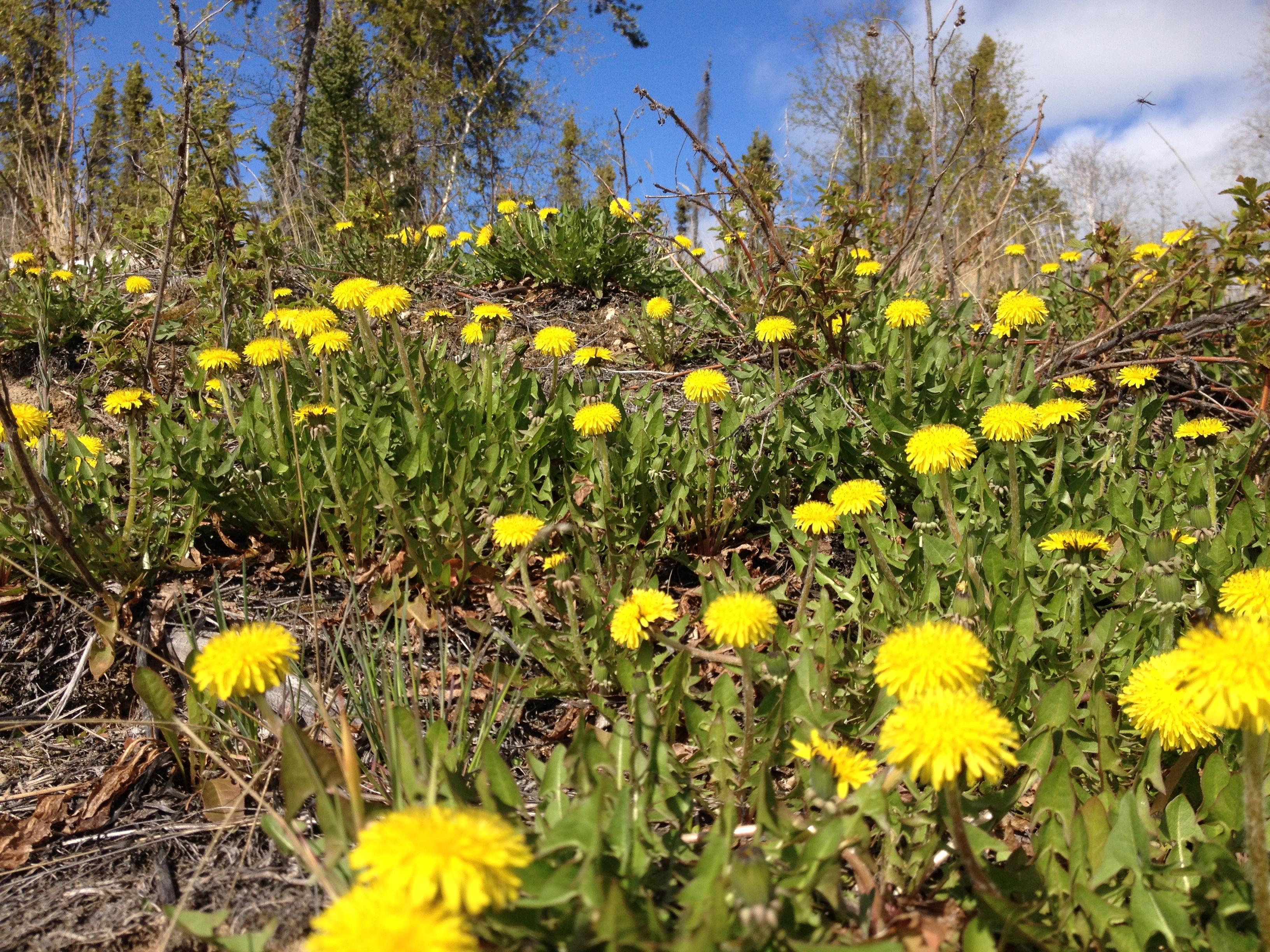 Spring Dandelions, NT
