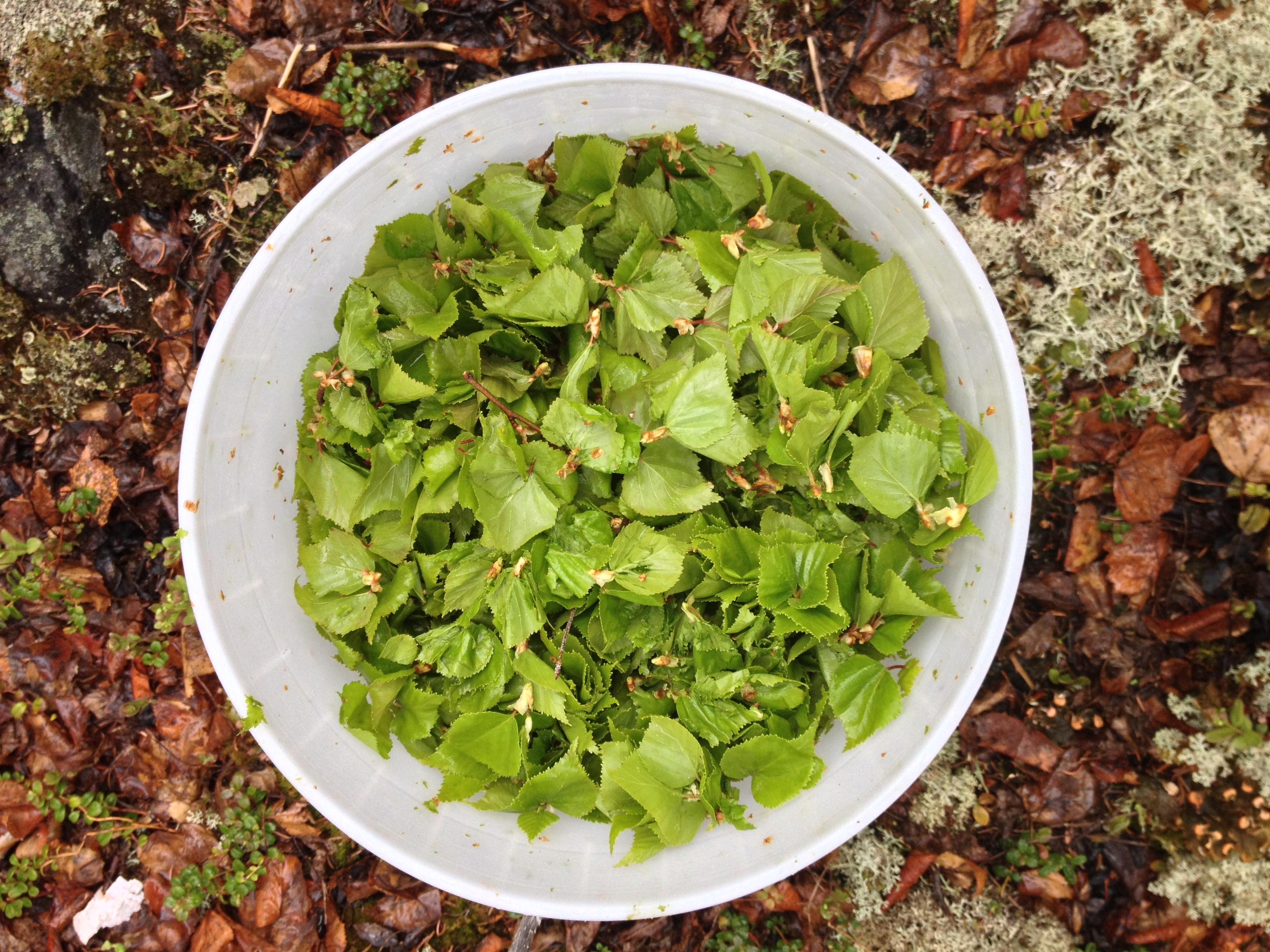 Spring Birch Leaves, NT