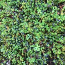 Wild crowberry patch